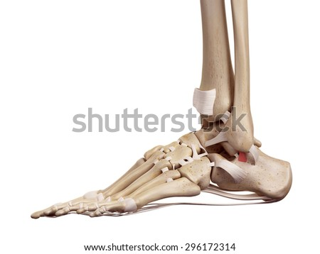 medical accurate illustration of the superior calcaneofibular ligament - stock photo