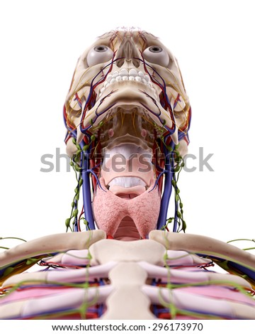 medical accurate illustration of the throat anatomy - stock photo