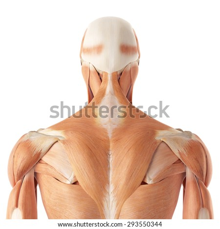 medical accurate illustration of the upper back muscles - stock photo