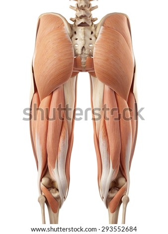 medical accurate illustration of the upper leg muscles - stock photo