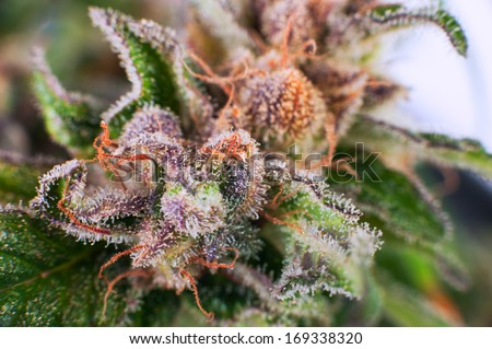 Medical Cannabis bud - stock photo