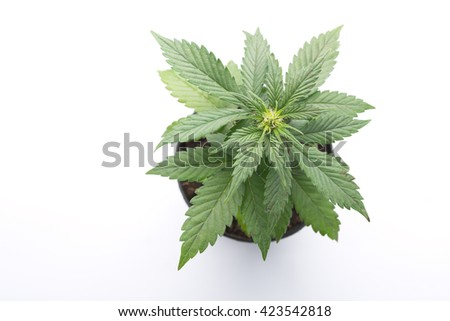 medical cannabis marijuana pot in a top view on a white background