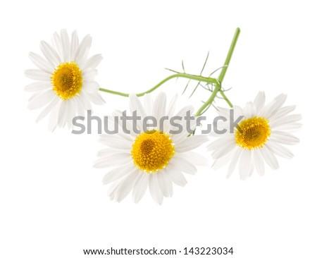 Medical Chamomile flowers isolated on white background - stock photo