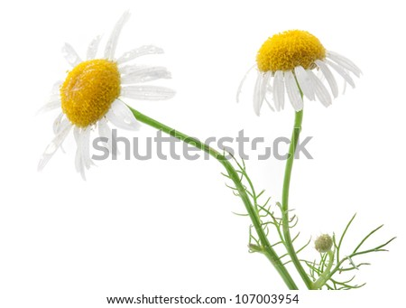 Medical Chamomile isolated on white background - stock photo