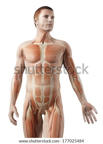 medical 3d illustration - male muscle system - upper body - stock photo