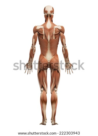 muscle system stock images, royalty-free images & vectors, Muscles
