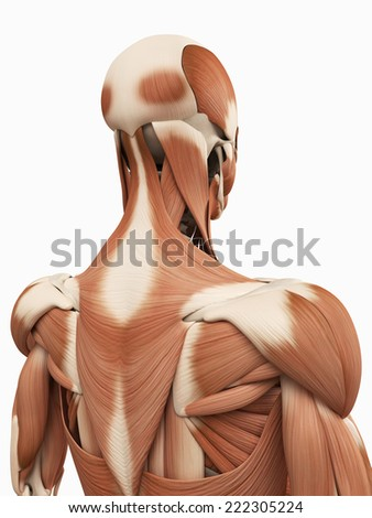 medical 3d illustration of the upper back muscles - stock photo