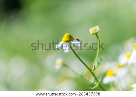 medical daisies in a meadow - stock photo