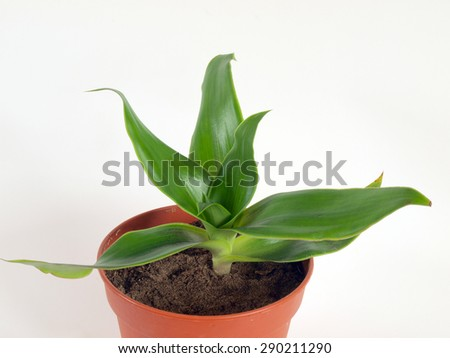 Medical herb plant callisia fragrans known as basket plant or chain plant or inch plant or golden string in flower pot on white background close up side view. - stock photo