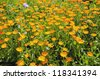 medical herbs calendula blossoming in summer ecological garden - stock photo