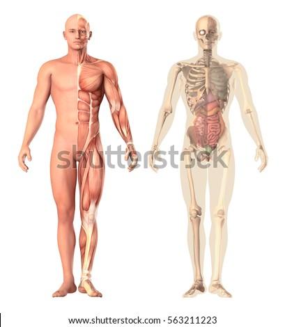 human internal organ stock images, royalty-free images & vectors, Skeleton