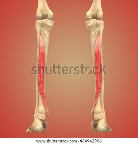 Medical Illustration Human Body Muscles Anatomy Stock Illustration