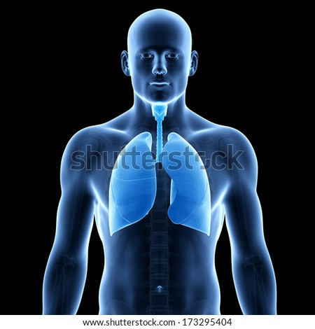 medical illustration of the human lung - stock photo