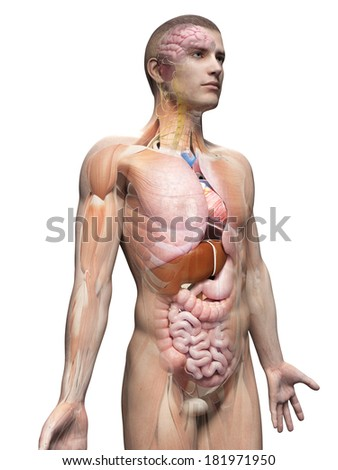 medical illustration of the male anatomy - stock photo