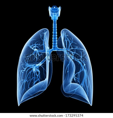 medical illustration showing the bronchi inside of the lung - stock photo