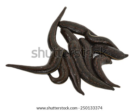 Medical leech - stock photo