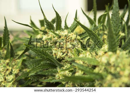 Medical marijuana harvesting - stock photo