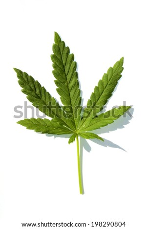 Medical Marijuana leaf isolated on white with room for your text. Medical Marijuana is now legal in many states and countries. A very useful medicinal and industrial plant in many industries. - stock photo