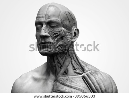 Medical Reference Human Anatomy Muscular Structure Stock