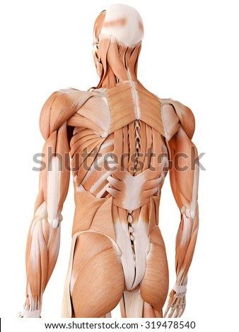 medically accurate anatomy illustration - back muscles