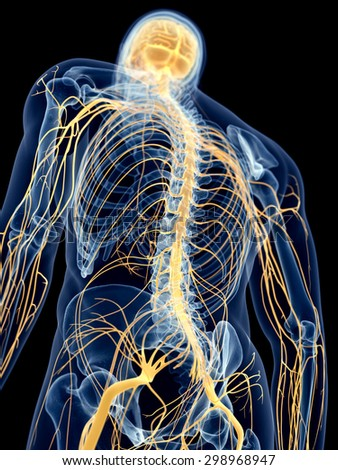 Stock Photo Medically Accurate Illustration Of The Back Nerves on 3d Kidney Diagram
