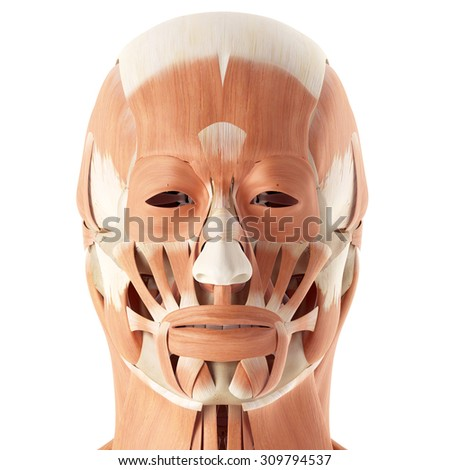 facial muscles anatomy stock images, royalty-free images & vectors, Human Body
