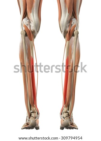 flexor digitorum longus stock images, royalty-free images, Cephalic Vein