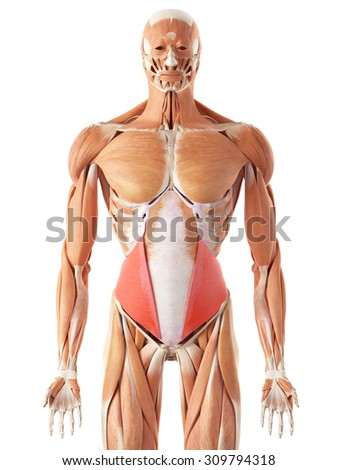 medically accurate illustration of the internal oblique - stock photo
