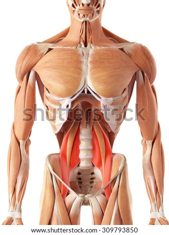 medically accurate illustration of the psoas major - stock photo