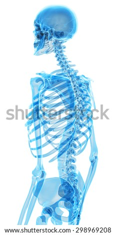 medically accurate illustration of the skeletal back - stock photo