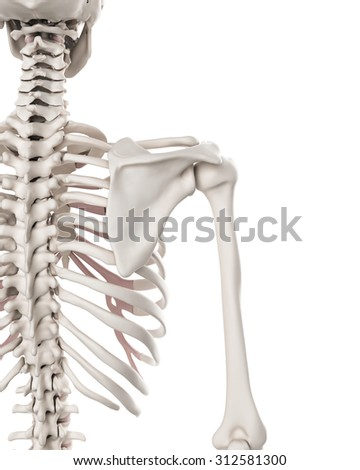 medically accurate illustration of the skeletal system - the shoulder - stock photo