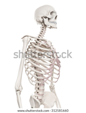 medically accurate illustration of the skeletal system - the thorax - stock photo