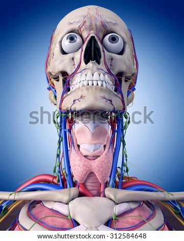 medically accurate illustration of the throat anatomy - stock photo