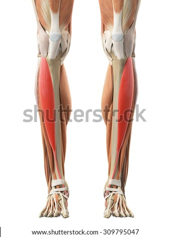 tibialis anterior stock images, royalty-free images & vectors, Human body