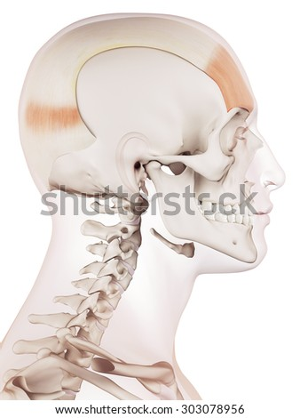 Medically Accurate Muscle Illustration Frontalis Stock Illustration ...