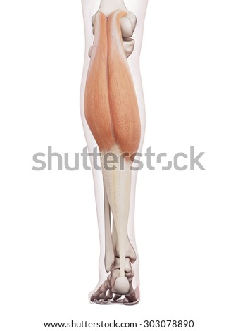 medically accurate muscle illustration of the gastrocnemius - stock photo