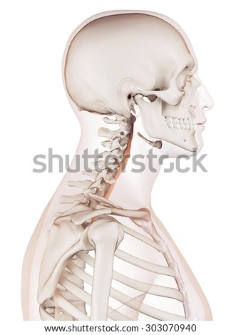 medically accurate muscle illustration of the longus colli - stock photo