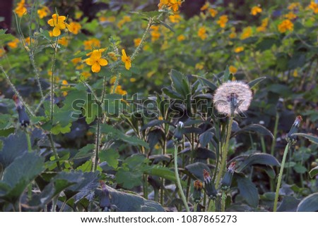 Medicinal herbs bright yellow flowers greater stock photo royalty medicinal herbs bright yellow flowers greater celandine chelidonium majus mightylinksfo