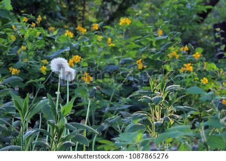 Medicinal herbs bright yellow flowers greater stock photo royalty medicinal herbs bright yellow flowers greater celandine chelidonium majus mightylinksfo