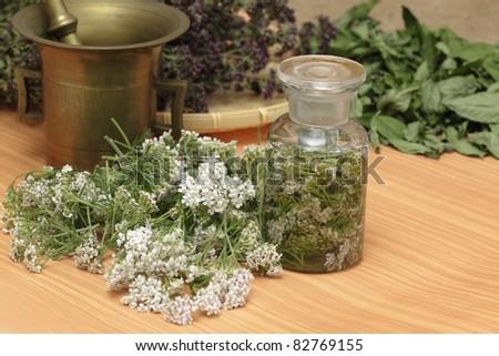 Medicinal herbs - fresh achillea millefolium, dried wild thyme and  mint - stock photo