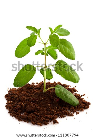Medicinal holy basil  leaves over white background - stock photo