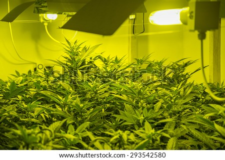 Medicinal indoor cannabis cultivation - stock photo
