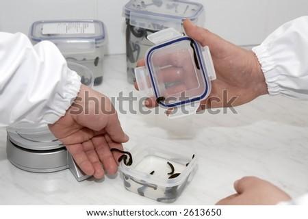Medicinal Leech-hirudo medicinalis- - stock photo