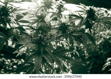 Medicinal Marijuana Plant Closeup - stock photo