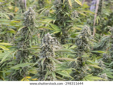 Medicinal marijuana ready for harvesting, legally grown in California. - stock photo
