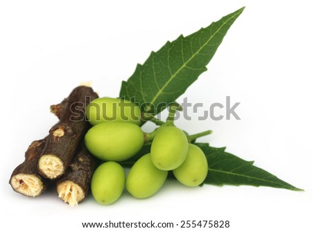 Medicinal neem fruits with twigs over white background - stock photo