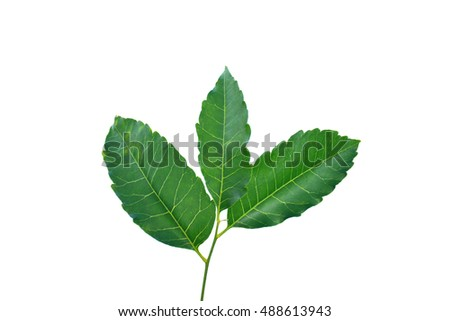 Medicinal neem leaf isolated on white background