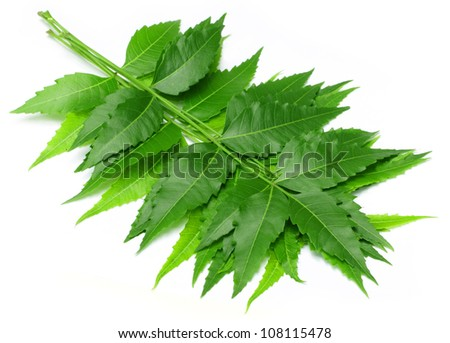 Medicinal neem leaves - stock photo