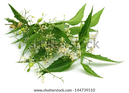 Medicinal neem leaves with flower - stock photo