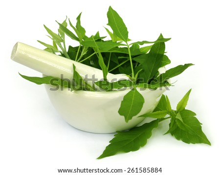 Medicinal Nishinda leaves with mortar and pestle over white background - stock photo